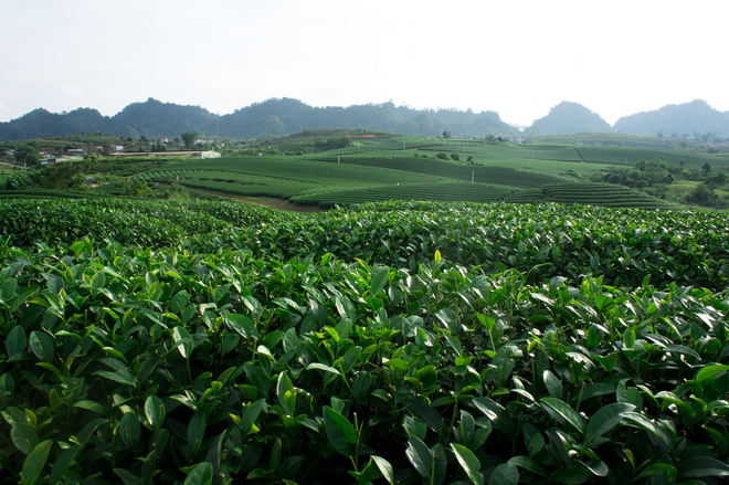 Green tea hills in Moc Chau